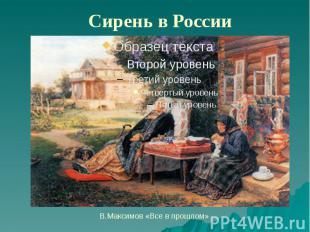 Сирень в России