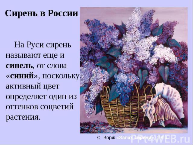 На Руси сирень называют еще и синель, от слова «синий», поскольку активный цвет определяет один из оттенков соцветий растения.