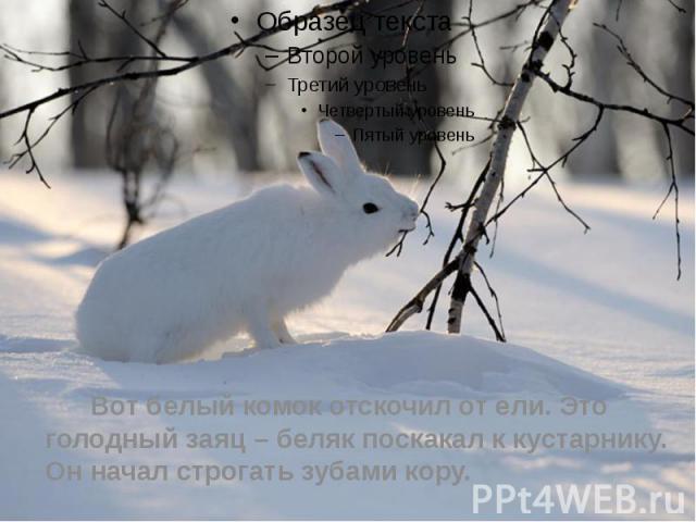 Вот белый комок отскочил от ели. Это голодный заяц – беляк поскакал к кустарнику. Он начал строгать зубами кору.