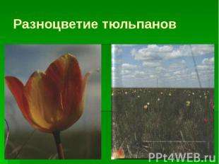 Разноцветие тюльпанов