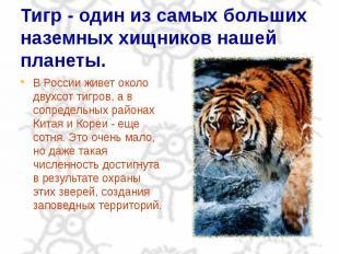 Тигр - один из самых больших наземных хищников нашей планеты. В России живет око
