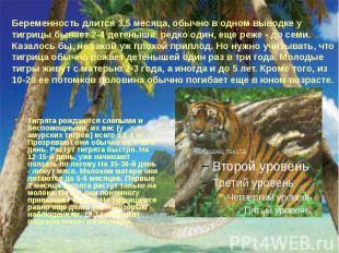 Беременность длится 3,5 месяца, обычно в одном выводке у тигрицы бывает 2-4 дете