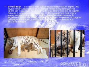 Белый тигр — не считается отдельной разновидностью тигров. Это редко встречающее