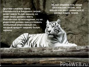 Белые хищники есть среди Бенгальских тигров, хотя иногда они могут появиться от