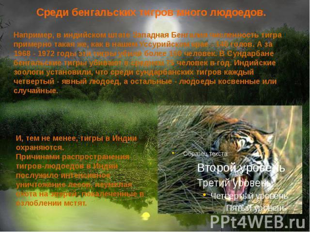 Среди бенгальских тигров много людоедов.