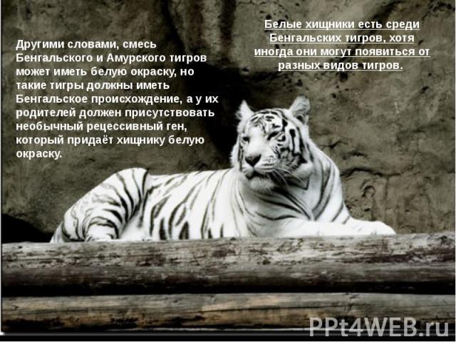 Белые хищники есть среди Бенгальских тигров, хотя иногда они могут появиться от разных видов тигров.