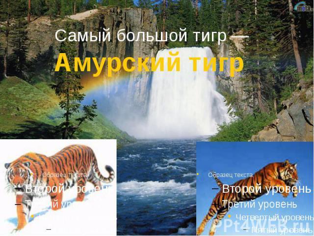 Самый большой тигр — Амурский тигр