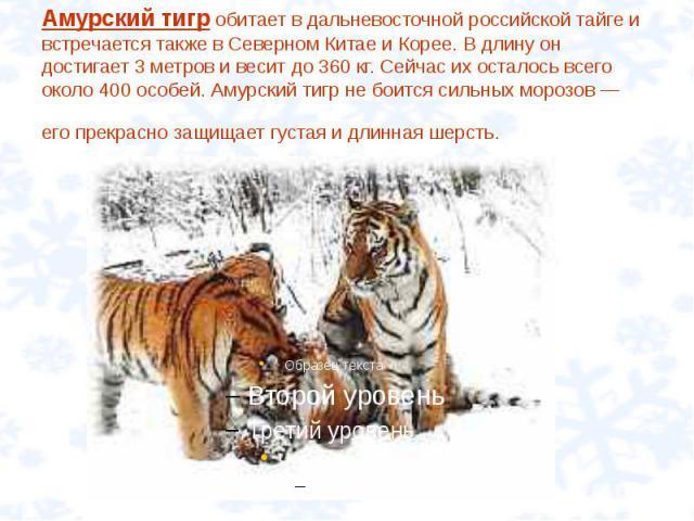Амурский тигр обитает в дальневосточной российской тайге и встречается также в Северном Китае и Корее. В длину он достигает 3 метров и весит до 360 кг. Сейчас их осталось всего около 400 особей. Амурский тигр не боится сильных морозов — его прекрасн…