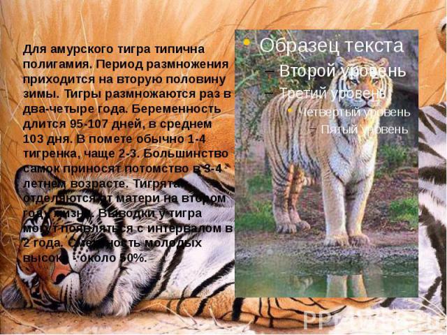 Для амурского тигра типична полигамия. Период размножения приходится на вторую половину зимы. Тигры размножаются раз в два-четыре года. Беременность длится 95-107 дней, в среднем 103 дня. В помете обычно 1-4 тигренка, чаще 2-3. Большинство самок при…
