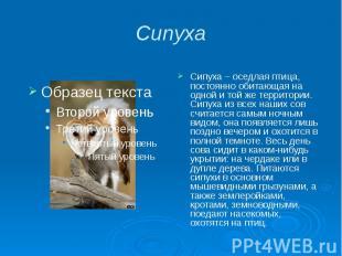 Сипуха Сипуха – оседлая птица, постоянно обитающая на одной и той же территории.