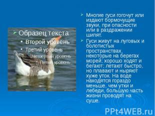 Многие гуси гогочут или издают бормочущие звуки, при опасности или в раздражении