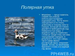 Полярная утка Моря нка — представитель семейства утиных, небольшая полярная нырк