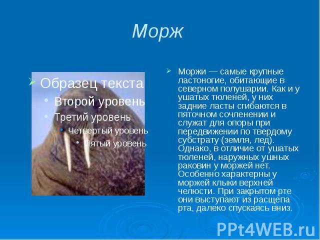 Морж Моржи — самые крупные ластоногие, обитающие в северном полушарии. Как и у ушатых тюленей, у них задние ласты сгибаются в пяточном сочленении и служат для опоры при передвижении по твердому субстрату (земля, лед). Однако, в отличие от ушатых тюл…
