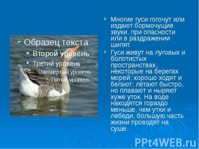Многие гуси гогочут или издают бормочущие звуки, при опасности или в раздражении шипят. Гуси живут на луговых и болотистых пространствах, некоторые на берегах морей; хорошо ходят и бегают; летают быстро, но плавают и ныряют хуже уток. На воде находя…