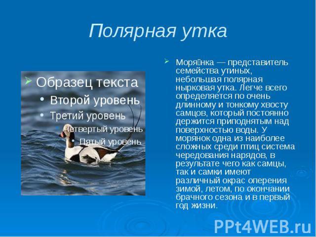 Полярная утка Моря нка — представитель семейства утиных, небольшая полярная нырковая утка. Легче всего определяется по очень длинному и тонкому хвосту самцов, который постоянно держится приподнятым над поверхностью воды. У морянок одна из наиболее с…