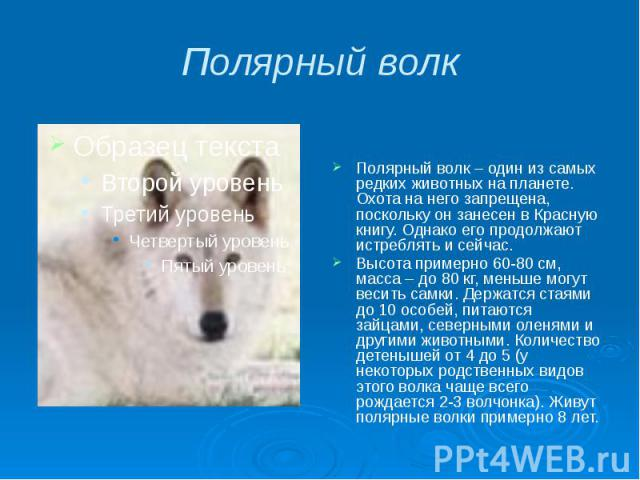 Полярный волк Полярный волк – один из самых редких животных на планете. Охота на него запрещена, поскольку он занесен в Красную книгу. Однако его продолжают истреблять и сейчас. Высота примерно 60-80 см, масса – до 80 кг, меньше могут весить самки. …