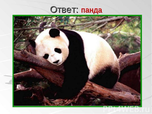 панда панда