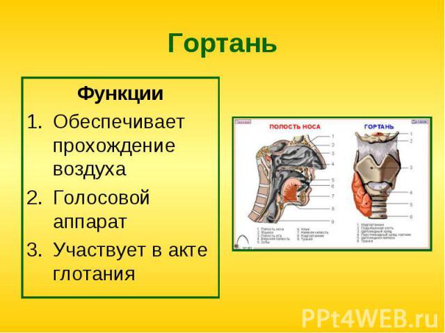 Функции Функции Обеспечивает прохождение воздуха Голосовой аппарат Участвует в акте глотания