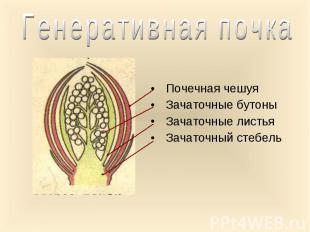 Почечная чешуя Почечная чешуя Зачаточные бутоны Зачаточные листья Зачаточный сте