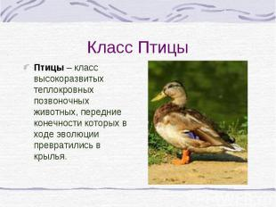 Птицы – класс высокоразвитых теплокровных позвоночных животных, передние конечно