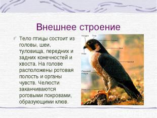 Тело птицы состоит из головы, шеи, туловища, передних и задних конечностей и хво