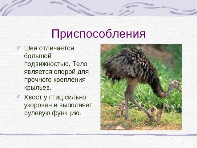 Шея отличается большой подвижностью. Тело является опорой для прочного крепления крыльев. Шея отличается большой подвижностью. Тело является опорой для прочного крепления крыльев. Хвост у птиц сильно укорочен и выполняет рулевую функцию.