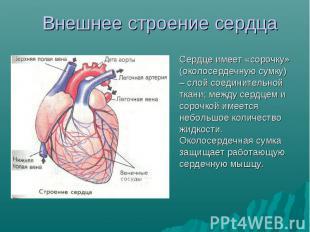 Сердце имеет «сорочку» (околосердечную сумку) – слой соединительной ткани; между