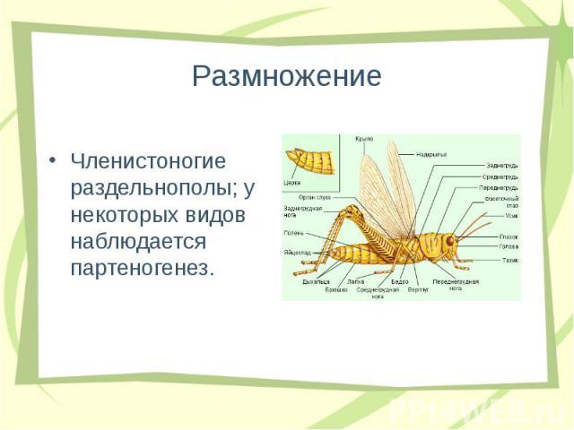 Членистоногие раздельнополы; у некоторых видов наблюдается партеногенез. Членистоногие раздельнополы; у некоторых видов наблюдается партеногенез.