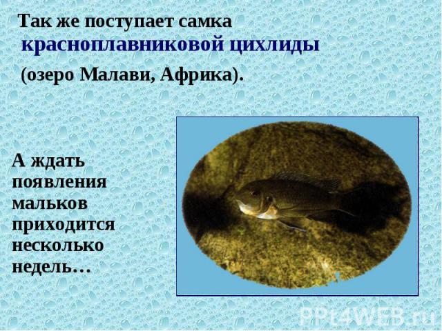 Так же поступает самка красноплавниковой цихлиды Так же поступает самка красноплавниковой цихлиды (озеро Малави, Африка).