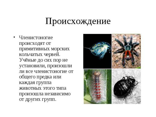 Членистоногие происходят от примитивных морских кольчатых червей. Учёные до сих пор не установили, произошли ли все членистоногие от общего предка или каждая группа животных этого типа произошла независимо от других групп. Членистоногие происходят о…