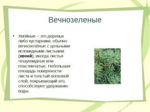 Хвойные – это деревья либо кустарники, обычно вечнозелёные с цельными игловидным