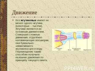 Все жгутиковые имеют не менее одного жгутика (некоторые – тысячи). Жгутики являю