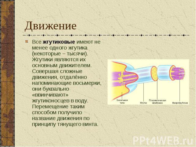 Все жгутиковые имеют не менее одного жгутика (некоторые – тысячи). Жгутики являются их основным движителем. Совершая сложные движения, отдалённо напоминающие восьмерки, они буквально «ввинчивают» жгутиконосцев в воду. Перемещение таким способом полу…