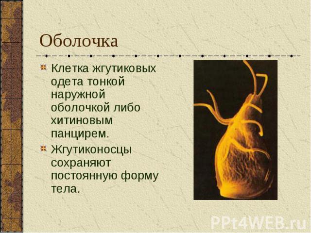 Клетка жгутиковых одета тонкой наружной оболочкой либо хитиновым панцирем. Клетка жгутиковых одета тонкой наружной оболочкой либо хитиновым панцирем. Жгутиконосцы сохраняют постоянную форму тела.