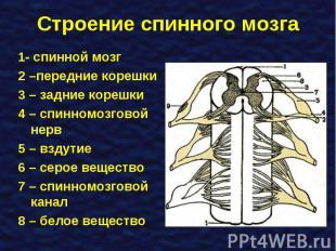 1- спинной мозг 1- спинной мозг 2 –передние корешки 3 – задние корешки 4 – спинн