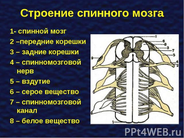 1- спинной мозг 1- спинной мозг 2 –передние корешки 3 – задние корешки 4 – спинномозговой нерв 5 – вздутие 6 – серое вещество 7 – спинномозговой канал 8 – белое вещество
