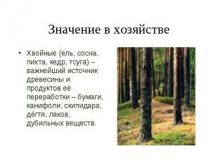 Хвойные (ель, сосна, пихта, кедр, тсуга) – важнейший источник древесины и продук
