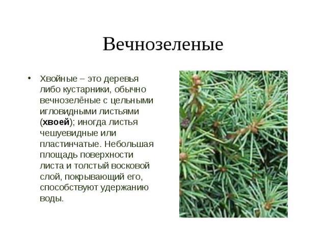 Хвойные – это деревья либо кустарники, обычно вечнозелёные с цельными игловидными листьями (хвоей); иногда листья чешуевидные или пластинчатые. Небольшая площадь поверхности листа и толстый восковой слой, покрывающий его, способствуют удержанию воды…