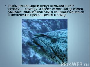 Рыбы-чистильщики живут семьями по 6-8 особей — самец и «гарем» самок. Когда саме