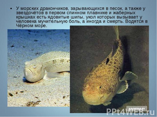 У морских дракончиков, зарывающихся в песок, а также у звездочётов в первом спинном плавнике и жаберных крышках есть ядовитые шипы, укол которых вызывает у человека мучительную боль, а иногда и смерть. Водятся в Чёрном море. У морских дракончиков, з…