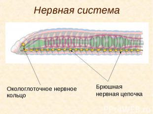 Нервная система Окологлоточное нервное кольцо