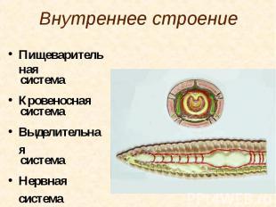 Внутреннее строение Пищеварительная система Кровеносная система Выделительная си