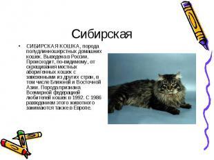 СИБИРСКАЯ КОШКА, порода полудлинношерстных домашних кошек. Выведена в России. Пр