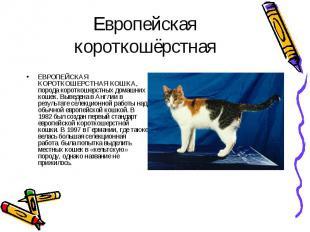 ЕВРОПЕЙСКАЯ КОРОТКОШЕРСТНАЯ КОШКА, порода короткошерстных домашних кошек. Выведе