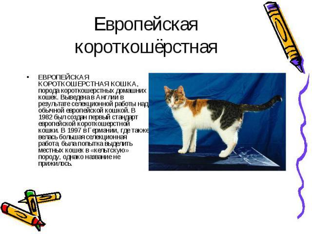 ЕВРОПЕЙСКАЯ КОРОТКОШЕРСТНАЯ КОШКА, порода короткошерстных домашних кошек. Выведена в Англии в результате селекционной работы над обычной европейской кошкой. В 1982 был создан первый стандарт европейской короткошерстной кошки. В 1997 в Германии, где …