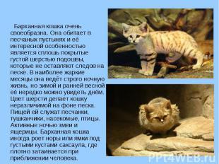 Барханная кошка очень своеобразна. Она обитает в песчаных пустынях и её интересн