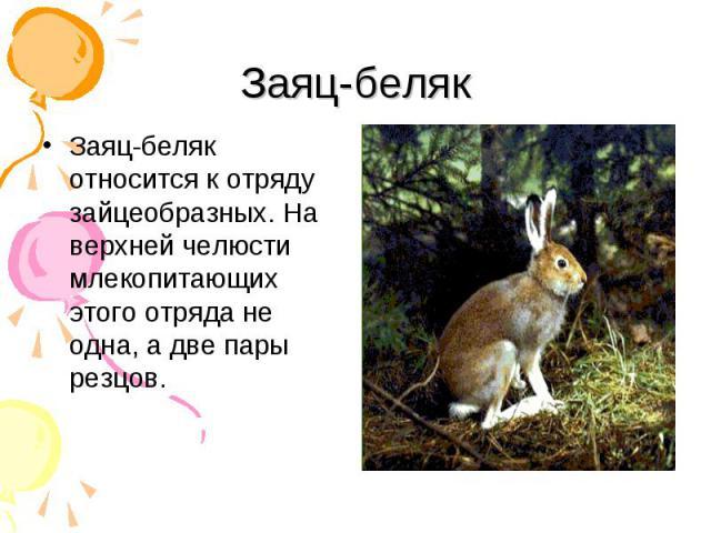 Заяц-беляк относится к отряду зайцеобразных. На верхней челюсти млекопитающих этого отряда не одна, а две пары резцов. Заяц-беляк относится к отряду зайцеобразных. На верхней челюсти млекопитающих этого отряда не одна, а две пары резцов.