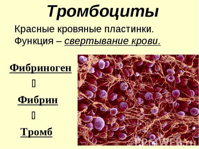 Тромбоциты Красные кровяные пластинки. Функция – свертывание крови. Фибриноген Фибрин Тромб