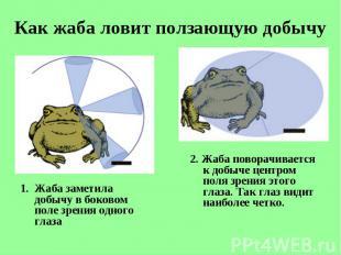 Жаба заметила добычу вбоковом поле зрения одного глаза Жаба заметила добыч