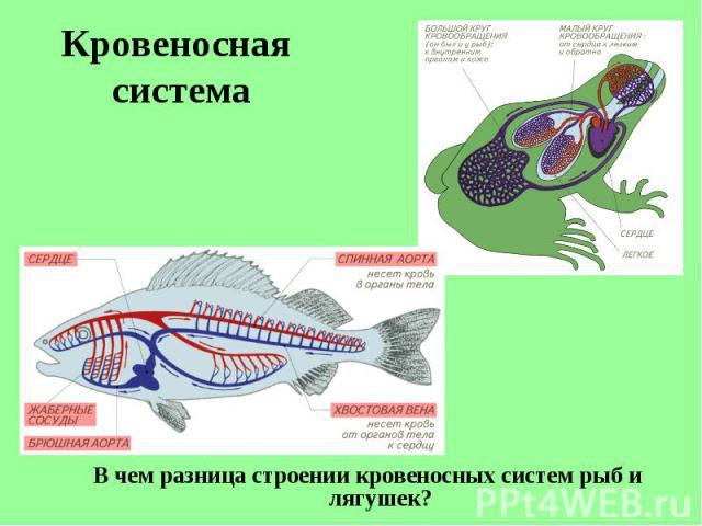В чем разница строении кровеносных систем рыб и лягушек? В чем разница строении кровеносных систем рыб и лягушек?